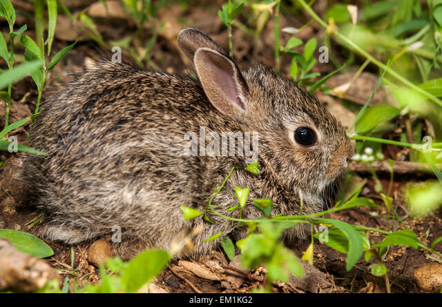 Baby bunny rabbit in grass - Stock Image