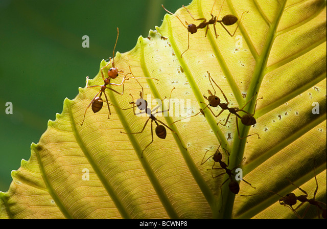 Extreme close-up of weaver ants on a piece of leaf - Stock Image