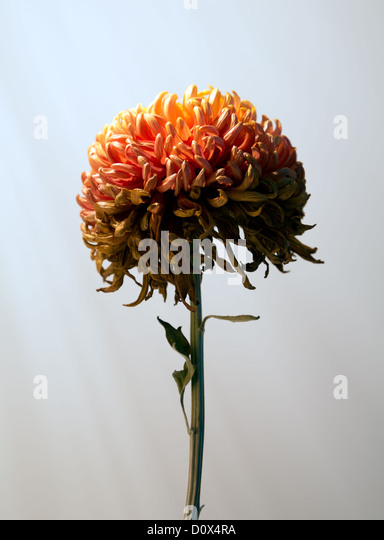 Colour image of a chrysanthemum flower. - Stock Image