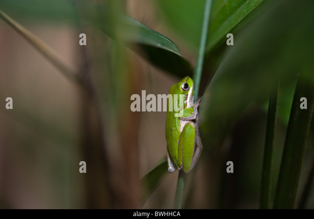 Green tree frog - Stock-Bilder