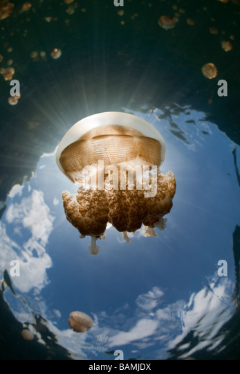 Mastigias Jellyfish in Backlight Mastigias papua etpisonii Jellyfish Lake Micronesia Palau - Stock-Bilder