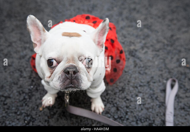 London, UK.  27 November 2016. Stella, a French bulldog, is pictured in a fun dog show raising funds for charity, - Stock Image