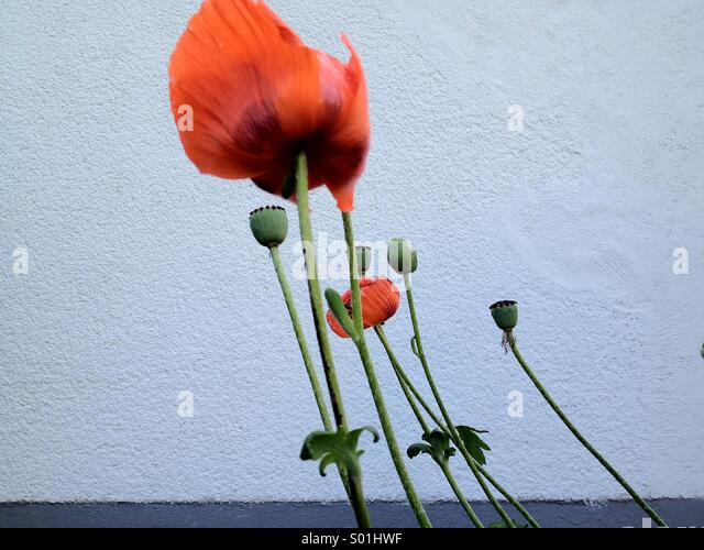 End of season poppies in front of a white wall with lots of negative space. - Stock Image