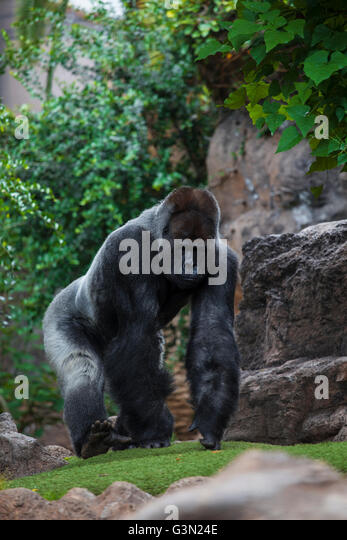 Portrait of big, black gorilla (male) at the zoo on brown-green background, outdoor (Loro Park -Tenerife, Canary - Stock-Bilder