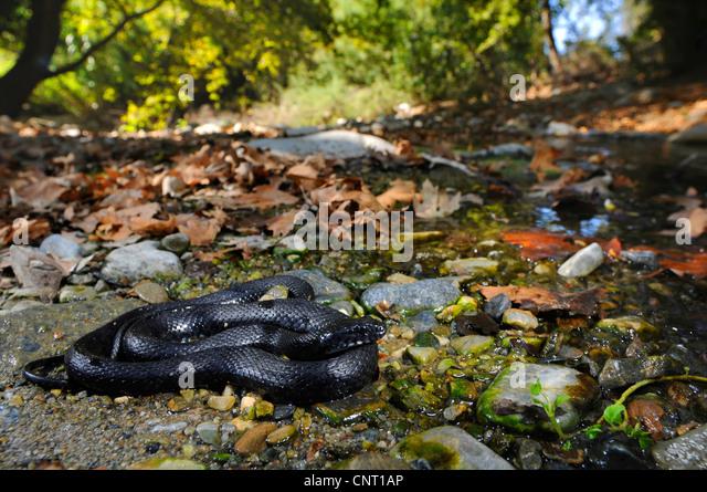 dice snake (Natrix tessellata), black morph, Greece, Creta - Stock Image