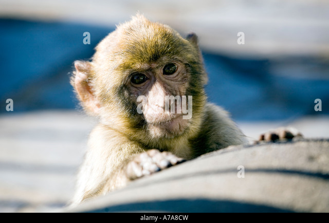 Cheeky little monkey Young Gibraltar Ape peering over a wall thoughtful contemplating - Stock Image