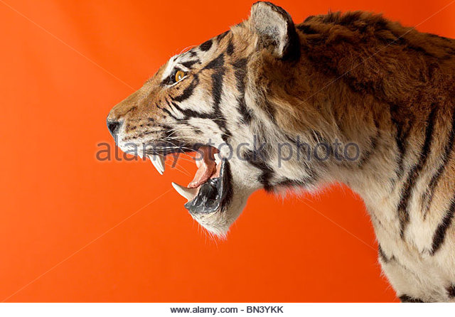 Profile view of snarling tiger - Stock-Bilder
