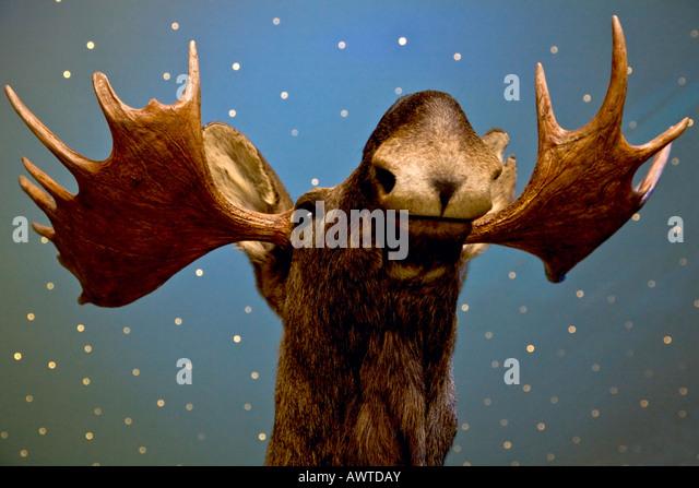 Elk - Stock-Bilder