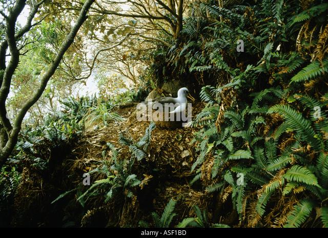Southern Buller s albatross Buller s mollymawk nesting among forest like shrubs and ferns Solander Island New Zealand - Stock Image