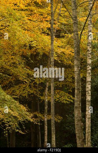Autumn color trees near Selkirk,Borders,Scotland,UK, - Stock Image