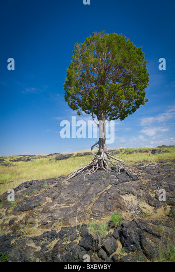Single tree growing in the middle of a barren desert of rock and grass against a deep blue sky - Stock Image