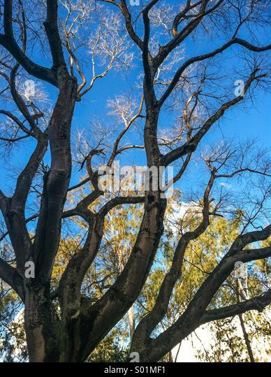 Brazil trees - Stock Image