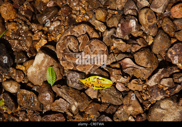 The dangerous venomous snake Common Lancehead (Fer-de-Lance), sci. name; Bothrops asper, Republic of Panama - Stock Image