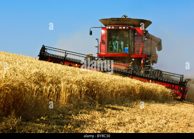 A Case IH combine crests a ridge while harvesting wheat in late afternoon light / near Pullman, Palouse Region, - Stock Image