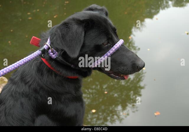 Black dog looking at water - Stock Image