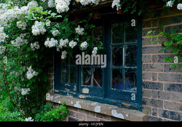 rambler roses stock photos rambler roses stock images. Black Bedroom Furniture Sets. Home Design Ideas