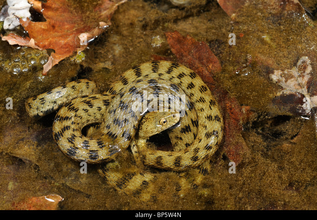 dice snake (Natrix tessellata), in shallow water, Greece, Creta, Greece - Stock Image