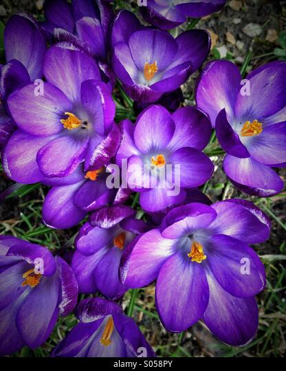 Crocus flowers - Stock Image