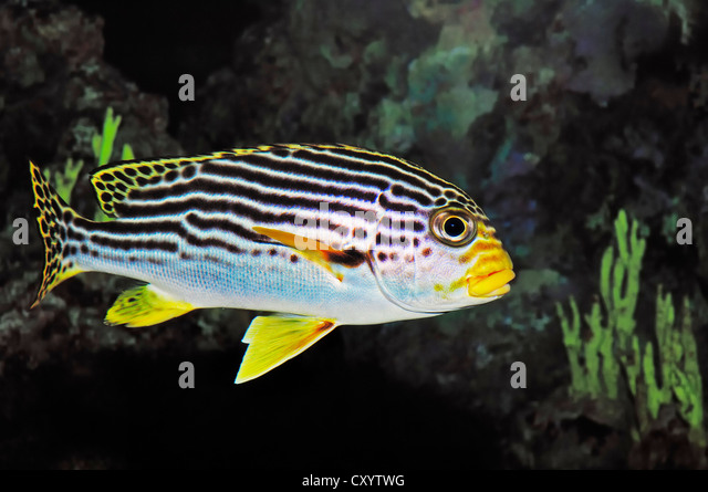 Diagonal-banded sweetlip (Plectorhinchus lineatus), found in the Indo-Pacific Ocean, captive - Stock Image