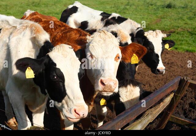 Cows on a Meadow, Fischerhude, Lower-Saxony, Germany, Europe - Stock-Bilder