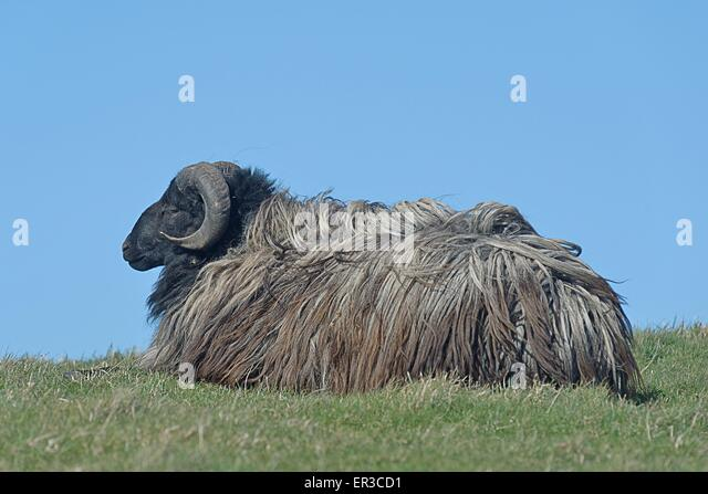 Portrait of a sheep lying on the grass, Helgoland, Germany - Stock Image