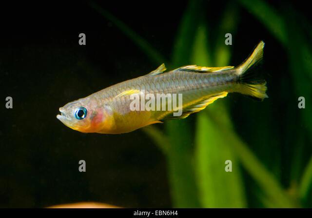Rainbowfish stock photos rainbowfish stock images alamy for Yellow rainbow fish