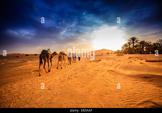 Morocco, Sahara desert, Camel caravan going to dune in desert - Stock Image