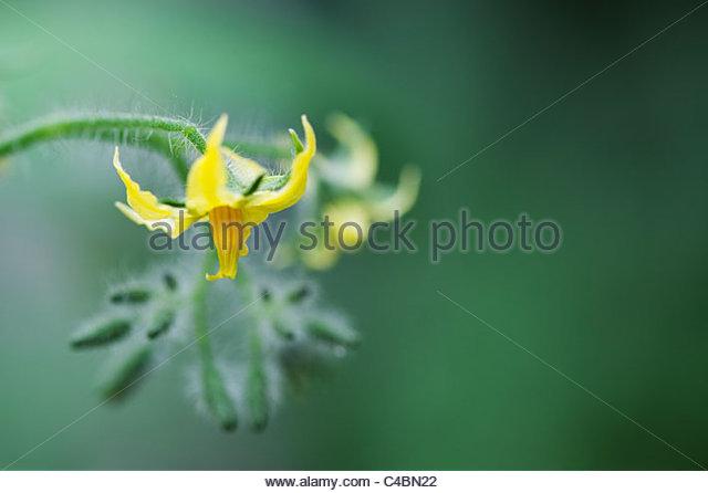 Solanum lycopersicum. Tomato flower - Stock Image