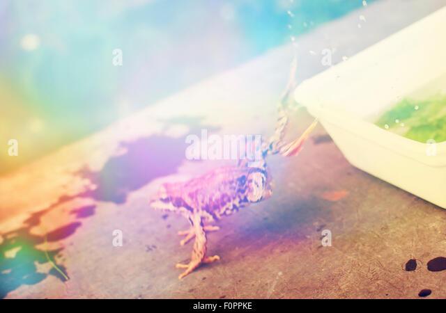 Origami Bullfrog