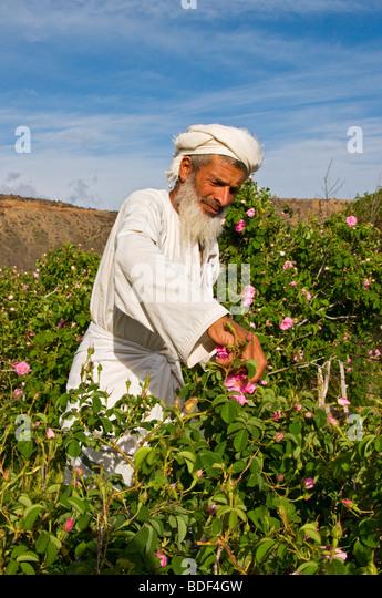 Villager picking roses to make Rose Water in Al-Jabal Al-akdar region Sultanate of Oman - Stock-Bilder