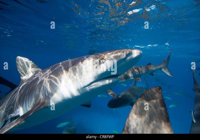 Closeup of Caribbean Reef Shark - Stock Image