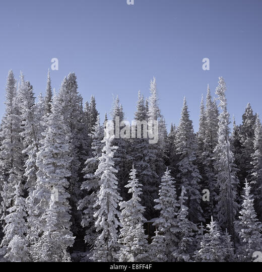 Frozen snow-covered trees, Wyoming, America, USA - Stock Image