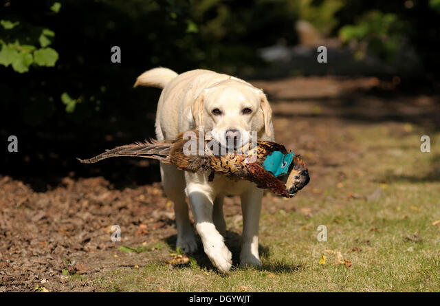 Blonde Labrador-Retriever with a pheasant dummy in its mouth - Stock Image