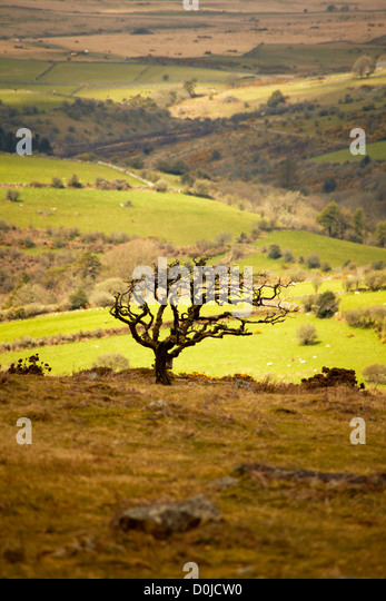Lone hawthorn tree silhouetted against a moorland landscape backdrop on Dartmoor. - Stock Image