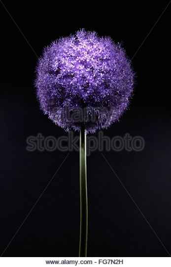 Close-Up Of Purple Flower Against Black Background - Stock Image