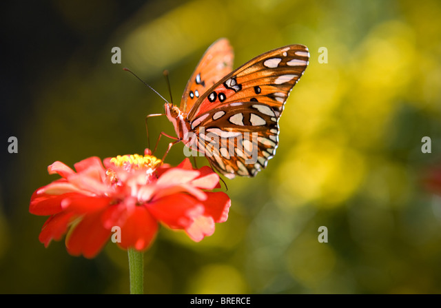 monarch butterfly stopped on a zinnia flower and getting ready to eat - Stock-Bilder