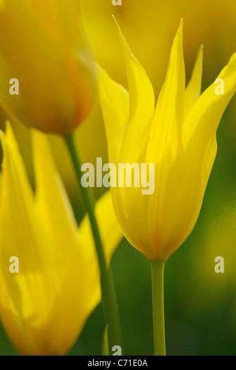 Tulipa speciosa Tulip yellow flower. - Stock Image