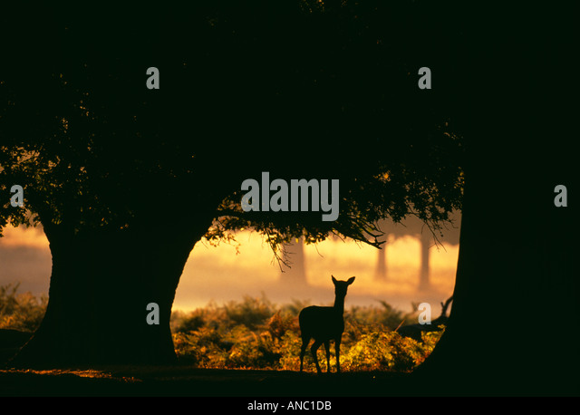 Fallow Deer Cervus dama doe at dawn New Forest Hampshire UK autumn - Stock-Bilder