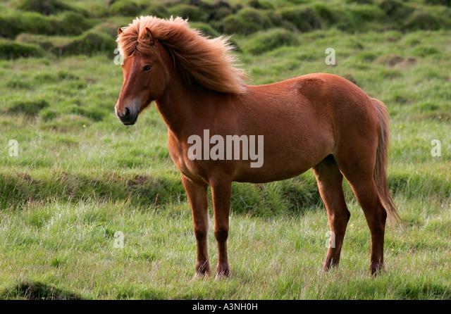 Islandic Horse  - Stock Image