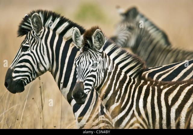 South Africa, near Rustenburg, Pilanesberg National Park. Three Burchell's Zebras, Equus burchelli. - Stock Image