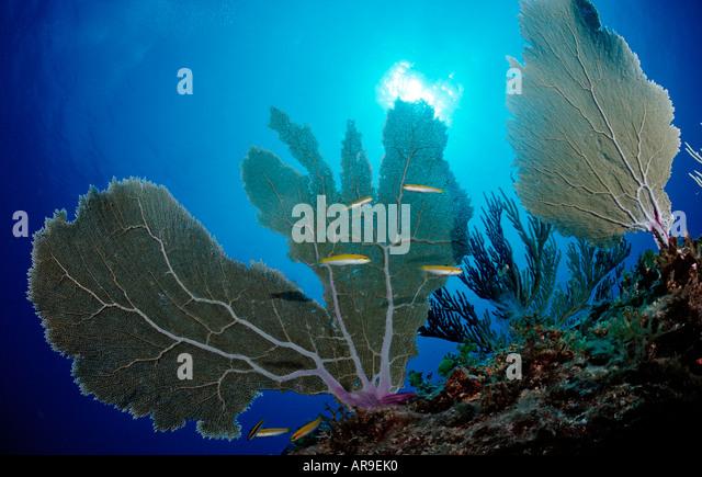 Caribbean coral reef Punta Cana Caribbean Sea Dominican Republic - Stock Image