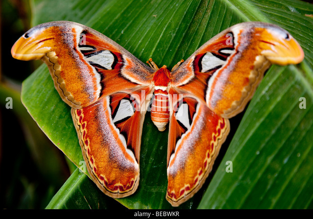 Largest moth in the world - photo#28