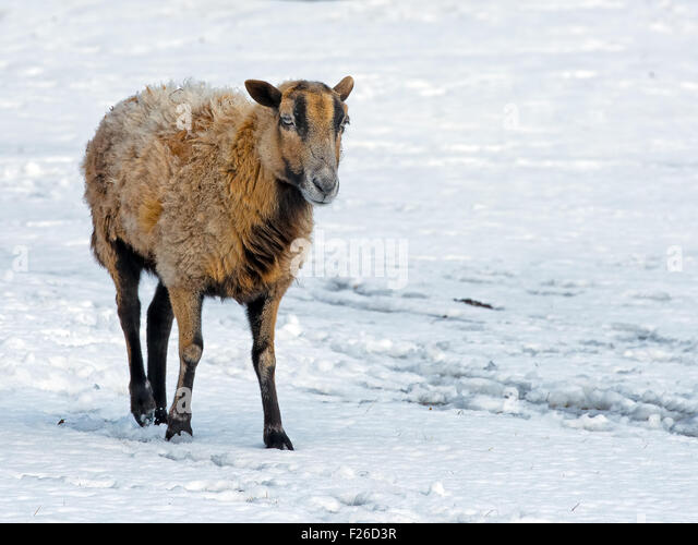Sheep Ewe walking in the snow - Stock Image