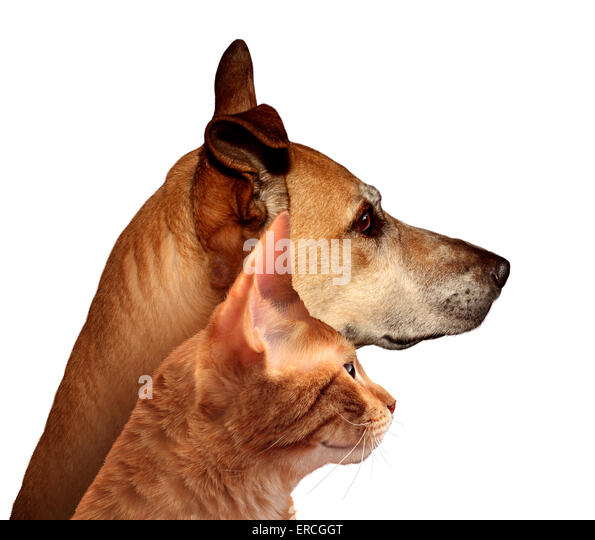 Dog and cat together in a side profile looking in the distance on a white background as a canine and feline friendship - Stock Image
