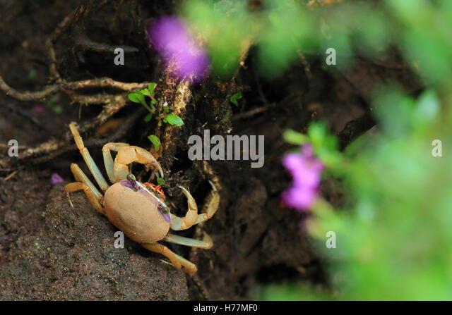 Juvenile blue land crab (Cardisoma guanhumi) feeding on a leaf. Tortuguero National Park, Costa Rica. - Stock Image