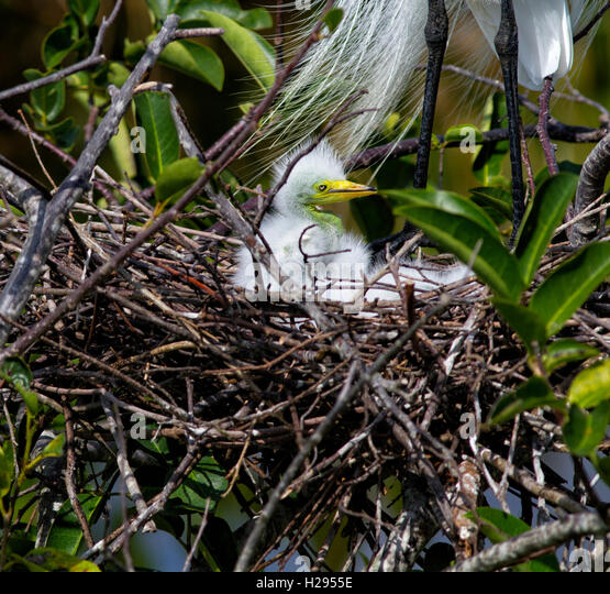 A one week old White Egret chick looks about its new world from the safety of its woven nest of twigs with Mom standing - Stock Image