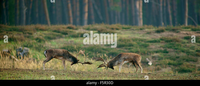 Fallow deer (Dama dama), ranking fights, bucks during the rut, Hesse, Germany - Stock Image