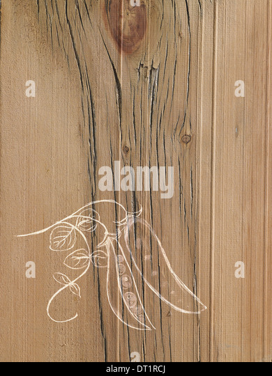 A line drawing image on a natural wood grain background Fresh peas in a pod on the vine - Stock Image