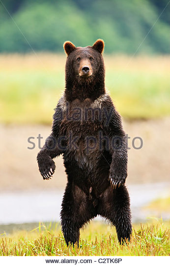 Grizzly stands upright in a salmon stream, Admiralty Island, Tongass National Forest of Southeast Alaska - Stock Image