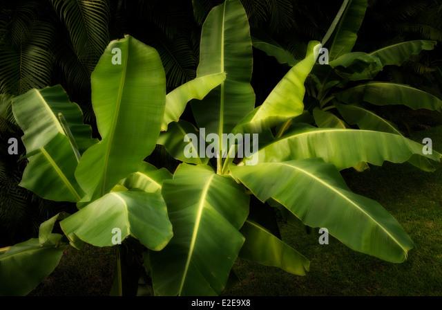 Banana tree. Mexico - Stock Image